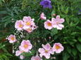 シュウメイ菊